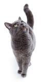 Gato maltés de ojos verdes también conocido como el azul británico Foto de archivo libre de regalías