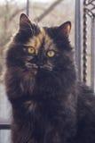 Gato manchado peludo que olha a câmera Imagens de Stock