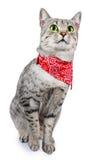 Gato manchado plata con el pañuelo Fotografía de archivo libre de regalías