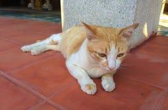 Gato marrón de mentira Fotografía de archivo libre de regalías