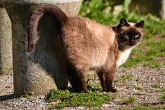 Gato marrón siamés que silba por el sol imagenes de archivo