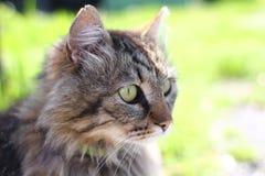 Gato marrom bonito com olhos verdes foto de stock