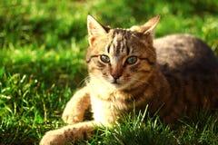 Gato marrom bonito com olhos verdes imagem de stock royalty free