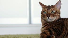 Gato marrom bonito de Bengal do puro-sangue que encontra-se em um tapete desgrenhado verde interno