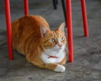 Gato marrom bonito imagem de stock