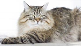 Gato marrom peludo que encontra-se no jardim Imagens de Stock Royalty Free