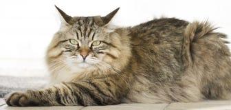 Gato marrom peludo que encontra-se no jardim Foto de Stock Royalty Free