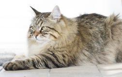 Gato marrom peludo que encontra-se no jardim Fotos de Stock