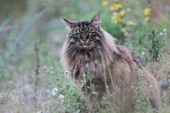 Gato masculino del bosque noruego que busca la presa Fotos de archivo libres de regalías