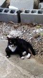 gato masculino del smoking Fotos de archivo