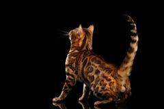 Gato masculino juguetón con los puntos hermosos, fondo negro aislado de Bengala Imagen de archivo libre de regalías