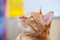 Gato masculino lindo que mira para arriba, fondo colorido y borroso fotos de archivo libres de regalías