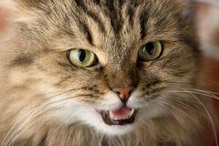 Gato mau Imagem de Stock