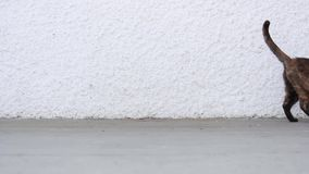 Gato mayor de la concha que camina con confianza a través de la pantalla y que sale de escena Pared blanca con el espacio de la c almacen de metraje de vídeo