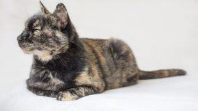 Gato mayor relajado y soñoliento de la concha que se acuesta y que mira a la izquierda Gato aislado en el fondo blanco fotografía de archivo
