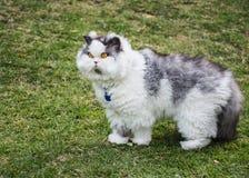Gato melenudo Fotografía de archivo