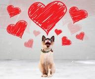 Gato meowing y que mira para arriba a los corazones de las tarjetas del día de San Valentín Fotos de archivo libres de regalías