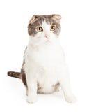 Gato mezclado Shorthair nacional atento y lindo de la raza imagenes de archivo