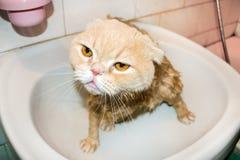 Gato mojado del doblez del escocés durante el baño Gato poner crema triste divertido con f foto de archivo libre de regalías