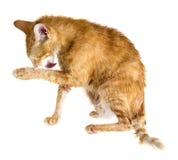 Gato mojado del jengibre que se lame la pata Fotografía de archivo libre de regalías