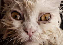 Gato molhado Imagem de Stock