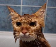 Gato molhado Fotografia de Stock Royalty Free