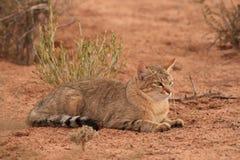 Gato montés africano (lybica del Felis) Imagen de archivo