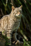 Gato montés escocés Fotos de archivo libres de regalías
