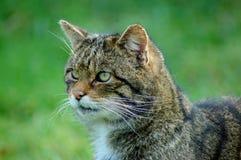 Gato montés escocés Imagen de archivo