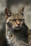 Gato montés europeo (silvestris de los silvestris del Felis) fotografía de archivo