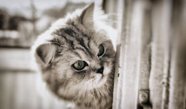 Gato Montaña derecho fotos de archivo