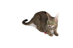 Gato muito surpreendido Fotos de Stock Royalty Free