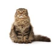 Gato mullido Foto de archivo libre de regalías