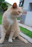 Gato mullido Fotografía de archivo libre de regalías