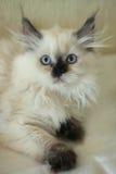 Gato mullido Imagen de archivo