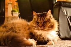 Gato mullido Fotos de archivo libres de regalías