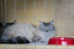 Gato mullido adorable, de la raza siberiana con los ojos azules hermosos, mintiendo en jaula en refugio como en la exposición del foto de archivo libre de regalías