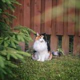 gato mullido Blanco-rojo que se sienta cerca de una cerca de Borgoña foto de archivo libre de regalías