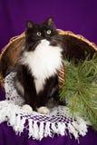 Gato mullido blanco y negro que se sienta cerca de la cesta Fotos de archivo