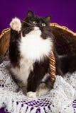 Gato mullido blanco y negro que se sienta cerca de la cesta Imagenes de archivo