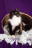 Gato mullido blanco y negro que se sienta en un velo del cordón cerca de la cesta Fondo púrpura Fotos de archivo libres de regalías