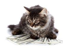 Gato mullido con los ojos marrones. fotos de archivo