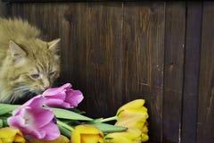 Gato mullido con los tulipanes Imagen de archivo