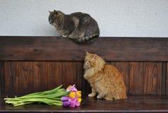 Gato mullido con los tulipanes Imagen de archivo libre de regalías