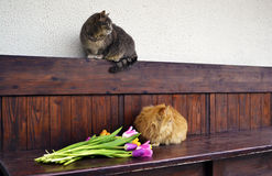 Gato mullido con los tulipanes Foto de archivo