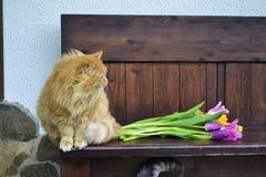 Gato mullido con los tulipanes Imágenes de archivo libres de regalías