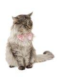 Gato mullido con un arqueamiento Imagenes de archivo