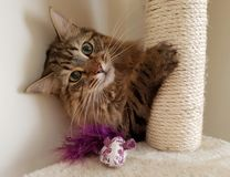 Gato mullido de Mainecoon Imagenes de archivo