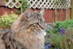 Gato mullido de Mainecoon Fotografía de archivo