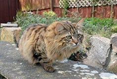 Gato mullido de Mainecoon Imagen de archivo